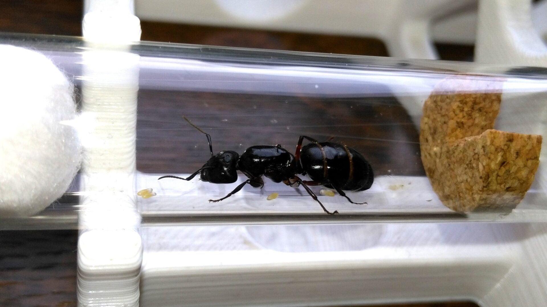 [Obrazek: Camponotus_herculeanus_001.jpg]