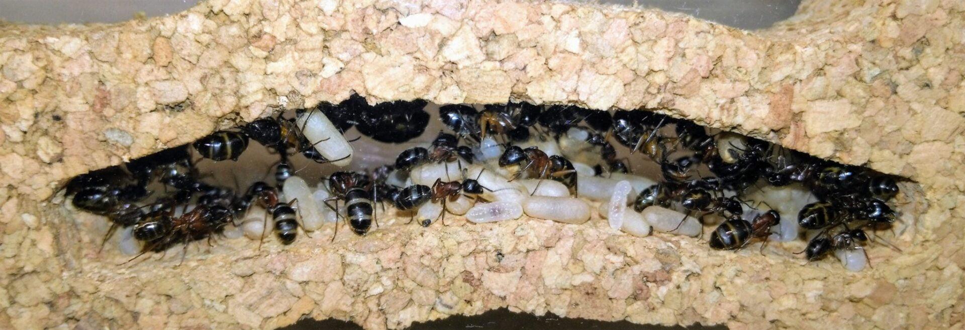 [Obrazek: Camponotus_herculeanus_032.jpg]