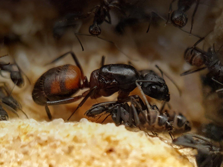 Camponotus cruentatus Queen